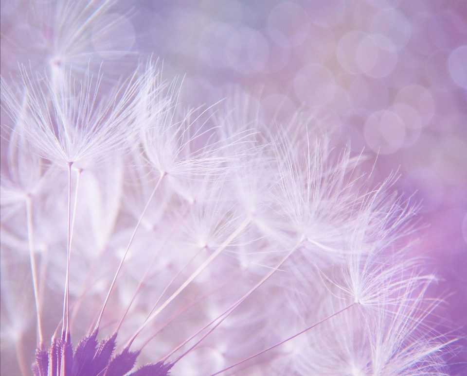 dandelions in purple background
