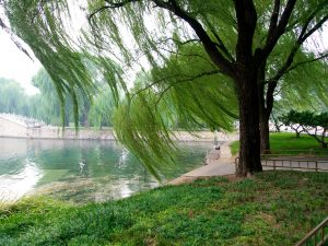 Willow tree by a lake